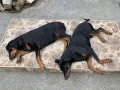 Midday Nap - Dobermann Pinschers Gabbana And Saxon (firehouse.ie) Tags: dogs dog pinschers pinscher dobermanns dobermann dobermans doberman dobies dobie dobeys dobey dobes dobe