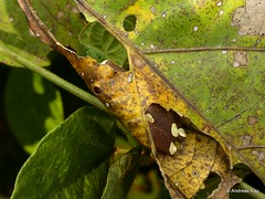Upper Amazon treefrog, Dendropsophus bifurcus (Ecuador Megadiverso) Tags: amphibian andreaskay anura dendropsophusbifurcus ecuador frog hylidae upperamazontreefrog