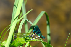 Pair (mmichalec) Tags: dragonfly odonata ważka nature polishnature poland natura spring pair para animals zwierzęta owady insects