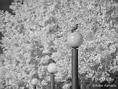 Hamburg - Taube / pigeon (peterkaroblis) Tags: schwarzweis blackandwhite infrarot infrared baum tree vogel bird taube pigeon hamburg