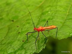 Assassin Bug, Ricolla quadrispinosa? Reduviidae (Ecuador Megadiverso) Tags: andreaskay assassinbug ecuador hemiptera heteroptera reduviidae ricollaquadrispinosa