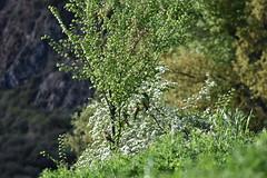 Abejarucos en Naval (Huesca) (esta_ahi) Tags: huesca naval somontanodebarbastro somontano aragón spain españa испания abejarucos merops apiaster meropsapiaster meropidae coraciiformes aves fauna
