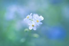 Myosotis (lfeng1014) Tags: myosotis forgetmenot flower flowermacro macro macrophotography closeup bokeh depthoffield dof canon5dmarkiii ef100mmf28lmacroisusm pastel light lifeng