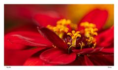 Zinnia-6845 f (pep_mir01) Tags: roja zinnia flor amarillo acercamiento