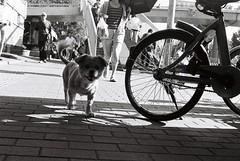 dog on street. (Masi Chao) Tags: film ilford hp5 rollei35 rollei bw street animal peking beijing dog
