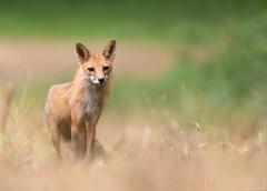 Red Fox (T L Sepkovic) Tags: redfox fox vulpesvulpes mammal wildlifephotography canonusa teamcanon lenscoat canon5dmkiv pawildlife