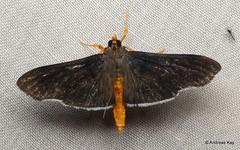Moth (Ecuador Megadiverso) Tags: andreaskay ecuador moth wildsumaco