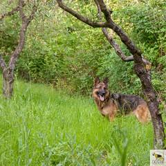German Sherherd (Allevamento Casa Caligiani) Tags: pastoretedesco germanshepherd schäferhund gsd dog cane natura bevagna umbria italia