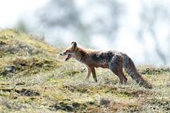 Vulpes vulpes/Renard Roux/Red Fox (Jambo53 ()) Tags: crobertkok nikond800 500f4