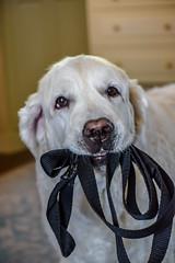 I think he wants to go for a walk (Davey341) Tags: dog goldenretriever retriever summer walk happydog