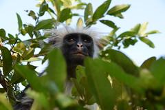 Red colobus | Piliocolobus kirkii (wildcaty) Tags: colobus colobusmonkey redcolobus kirksredcolobus primate africanprimate zanzibar unguja jozaninationalpark jozaniforest tanzania engangeredprimates