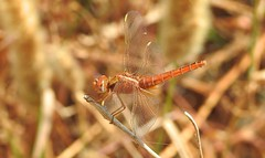 Red Veined Darter (Sympetrum fonscolombii) (Nick Dobbs) Tags: red veined darter sympetrum fonscolombii dragonfly insect malta odonata