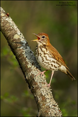 Wood Thrush (Hylocichla mustelina) (Glenn Bartley - www.glennbartley.com) Tags: britishcolombia animal animalia animals animalsinthewild aves avian beautyinnature bird birdwatching birds glennbartley northamerica photography canada wildlife ontario woodthrushhylocichlamustelina