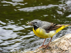 Grey Wagtail with food (Pendlelives) Tags: grey wagtail insects caught catch starkey bottoms starkie colne water river carry bridge yellow chest back white eye stripe bird birds nature wildlife countryside reflections rock perched twig branch pendle pendlelives nikon p1000