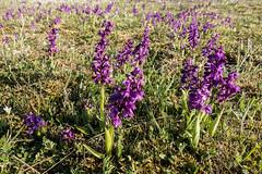 Anacamptis morio (DigPeter) Tags: europe sweden orchidaceae wildplants anacamptismorio