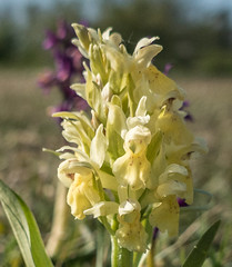 Dactylorhiza sambucina (DigPeter) Tags: europe sweden orchidaceae wildplants dactylorhizasambucina