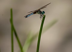 At The Tiptop (ACEZandEIGHTZ) Tags: dragonfly bokeh macro flyinginsect closeup nikond3200 bluedasher pachydiplaxlongipennis wings