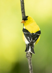 Goldfinch Male looking back (Thomas Muir) Tags: carduelistristis woodcounty perrysburg ohio midwest male spring bird birdwatching songbird animal outdoor nikon d800 200400mm northamerica