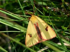 Roodbandbeer (capreolus) Tags: roodbandbeer cloudedbuff diacrisiasannio moths boerenveenscheplassen provincedrenthe holland supereco