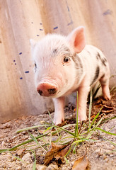 Close-up of a cute muddy piglet running around outdoors on the f (Natalia.Ka.) Tags: piglet pink pig agriculture farm cute animal mammal outdoors domestic baby view day horizontal one pork front image sow photography snout livestock looking meat trotter fun muddy nosey animals differential farmyard life farms freedom foreground funny leg small humor local absurd silly running boar stained field farming standing dirt piggy ukraine