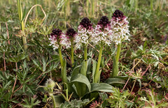 Neotinea ustulata (DigPeter) Tags: europe sweden orchidaceae wildplants neotineaustulata