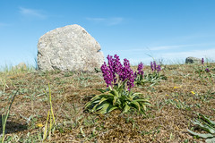 Orchis mascula (DigPeter) Tags: europe sweden orchidaceae wildplants orchismascula olandsweden