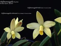 Hoffmannseggella verboonenii  and Hoffmannseggella bradei (Mauro Rosim) Tags: orchid orquídea flower flor rupícola rupicolous perfumada fragrant