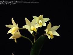 Hoffmannseggella verboonenii (F.E.L.Miranda) V.P.Castro & Chiron (Mauro Rosim) Tags: orchid orquídea flower flor rupícola rupicolous perfumada fragrant