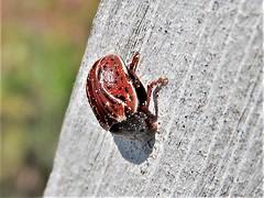 Russet Alder Leaf Beetle (d_taron) Tags: canada newbrunswick coleoptera chrysomelidae chrysomelinae calligrapha calligraphaalni