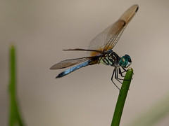 Blue Dasher (Pachydiplax longipennis) (ACEZandEIGHTZ) Tags: nature dragonfly flyinginsect nikond3200 bluedasher pachydiplaxlongipennis macro closeup bokeh wings coth5 sunrays5