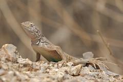 Nature's Test (rickcameron) Tags: greaterearlesslizard reptile tomsthumbtrail mcdowellsonoranpreserve scottsdale arizona desert sonorandesert molting