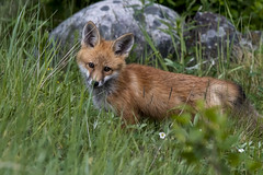 Another red fox kit (mysticislandphoto) Tags: wildlife fox redfox kit cariboo