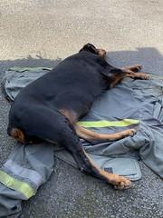 Lazing On A Sunny Afternoon - Dobermann Pinscher Gabbana. (firehouse.ie) Tags: dogs dog pinschers pinscher dobermanns dobermann dobermans doberman dobies dobie dobeys dobey dobes dobe girl gabbana