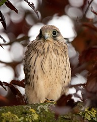 Young kestrel (timoschäferkordt) Tags: falke kestrel raptor bird birdwatching ornithology portrait turmfalke