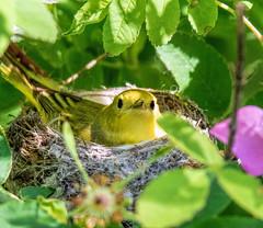 Farewell my lovely! (edmason88) Tags: yellowwarbler nesting neveragain tamron150600