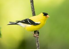 Goldfinch Male (Thomas Muir) Tags: carduelistristis woodcounty perrysburg ohio midwest male spring bird birdwatching songbird animal outdoor nikon d800 200400mm northamerica