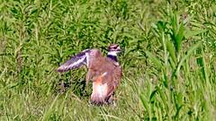 Killdeer displaying broken wing (GerdaKettner) Tags: aves birds killdeer cookcountyforestpreserve forestpreserve prairie grasslands