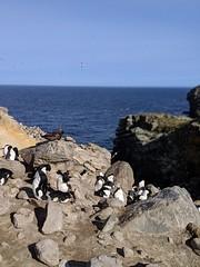 New Island (Buster&Bubby) Tags: newisland rockhopperpenguin falklandislands blackbrowedalbatross