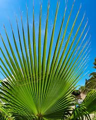 Mallorca - Peguera - Palmenblatt - 1107 (Peter Goll thx for +12.000.000 views) Tags: island spain insel mallorca spanien majorca peguera calvià balearischeinseln d850 leave samsung palm smartphone blatt palme s10 galexy