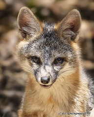 Grey Fox Kit (pandatub) Tags: ebparks ebparksok fox kit greyfox ardenwood