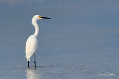 I Look to the Sea (craig goettsch) Tags: sanibel2019 water blue ocean white bird snowyegret egret avian wildlife nature animals nikon d500
