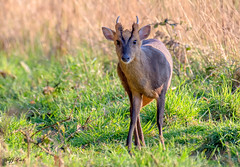DSC5251  Muntjac... (Jeff Lack Wildlife&Nature) Tags: muntjac muntjacdeer deer deers animal animals mammal marshland marshes meadows hedgerows heathland heathlands heaths copse countryside glades wetlands wildlife woodlands woodland wildlifephotography jefflackphotography norfolk nature