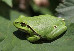 "treefrog ( ""Hyla arborea"" ) (bugman11) Tags: hylaarborea treefrog green amphibian amphibians amsterdamsewaterleidingduinen zandvoort fauna nature nederland thenetherlands animal animals canon 100mm28lmacro macro leaf leaves"