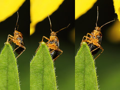 EOS 7D Mark II_085586_C (Gertjan Kamsteeg) Tags: animal invertebrate bug macro insect heteropteran heteroptera truebug miridae mirinae commonnettlebug brandnetelprachtwants brandnetelblindwants liocoristripustulatus plantbug wants