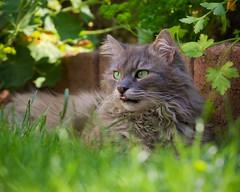 A summery day in the herb garden (FocusPocus Photography) Tags: fynn fynnegan katze kater cat gras grass rasen lawn garten garden kräutergarten herbgarden haustier pet tier animal htt