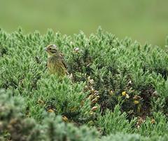 Yellowhammer (Ian Robin Jackson) Tags: green outside aberdeenshire ythan yellowhammer songbird scottishbirds gorse yellow sony zeiss