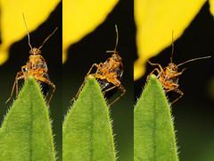 EOS 7D Mark II_085589_C (Gertjan Kamsteeg) Tags: animal invertebrate bug macro insect heteropteran heteroptera truebug miridae mirinae commonnettlebug brandnetelprachtwants brandnetelblindwants liocoristripustulatus plantbug wants