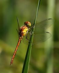 Common Darter (FocusPocus Photography) Tags: groseheidelibelle commondarter insekt insect libelle dragonfly gras grass schilf reeds sympetrumstriolatum natur nature