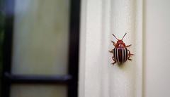 A Colorful Visitor (Violet aka vbd) Tags: pentax k1ii k1markii hdpentaxda35mmf28macrolimited ct connecticut newengland vbd 2018 fall2018 manualexposure bug beetle handheld falsepotatobeetle leptinotarsajuncta