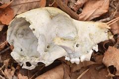 small dog skull (ophis) Tags: canidae canis canislupus dog canislupusfamiliaris skull